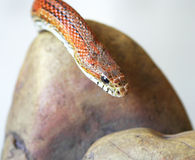 An Orange Corn Snake Stock Photography