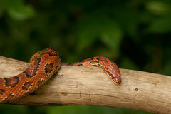 Orange Corn Snake Stock Photo
