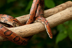 Orange Corn Snake Stock Image