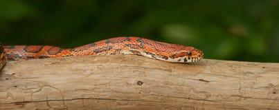 Orange Corn Snake stock photo