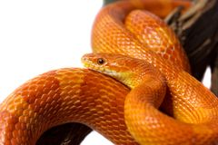 Orange corn snake crawling on a branch and looking forward on wh. Ite background Stock Photography
