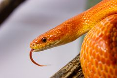 Orange corn snake crawling on a branch and sticking out it`s ton Royalty Free Stock Photos
