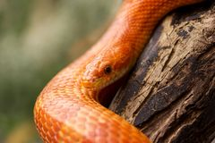 Orange corn snake. Crawling on a branch and looking forward on green blurred background stock photography