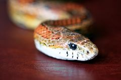 An Orange Corn Snake on Red Leather Stock Photos
