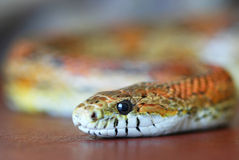 An Orange Corn Snake Slithers Over Leather Royalty Free Stock Photos