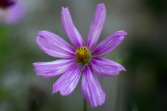 Orange Cosmea. Beautiful flowers. Cosmea in garden Stock Images