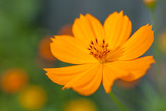 Orange cosmeablomma Arkivfoto