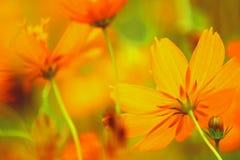 Orange cosmos. Low angle shot Royalty Free Stock Photos