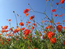 Orange cosmos. Against the blue spring skies royalty free stock photos