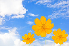 Orange Cosmos flower. And blue sky Stock Images