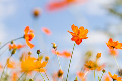 Orange cosmos flower Stock Image