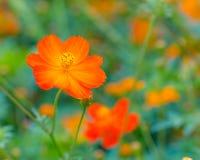 Orange cosmos flower. Stock Image