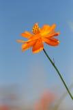 Orange cosmos flower Stock Photos