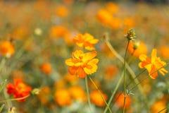 Orange cosmos flower Royalty Free Stock Image