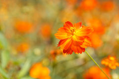Orange cosmos flower Stock Images