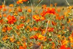 Orange cosmos flower Stock Photography