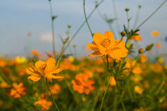 Orange cosmos flower in field Royalty Free Stock Images