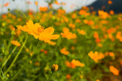 Orange cosmos flower in field Royalty Free Stock Image