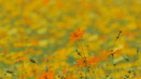 Orange cosmos flower in field. Orange cosmos flower in the wind at cosmos field. concept zoom in stock footage