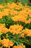 Orange cosmos flower. Royalty Free Stock Image