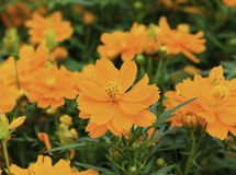 Orange cosmos flower Stock Photos