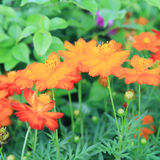 Orange cosmos flower Royalty Free Stock Images