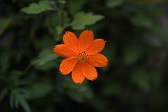 Orange cosmos flower in garden Royalty Free Stock Images