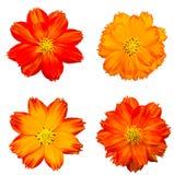 Orange cosmos flower isolated Stock Images