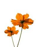 Orange cosmos flower Royalty Free Stock Images