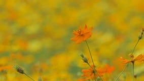 Orange cosmos flower in field. Orange cosmos flower in the wind at cosmos field. 4k stock video footage