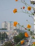 Orange cosmos flowers in the balcony above the city street Stock Image