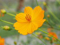 Orange cosmos flowers Stock Photography