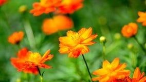 Orange cosmos flowers. stock footage