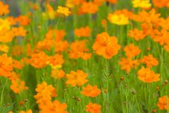 Orange cosmos flowers Stock Images