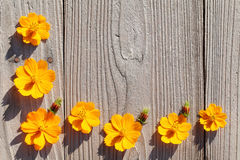 Orange cosmos flowers Stock Images