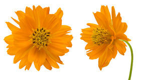 Orange cosmos in a white background Stock Photos