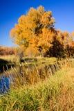 Orange Cottonwood Tree at Peak Color Stock Image