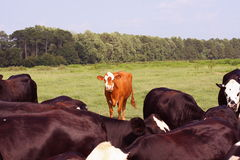 Orange cow Stock Images