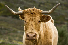 Orange cow Stock Photography