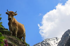 Orange cow in the mountains. Looking to the camera Stock Photo