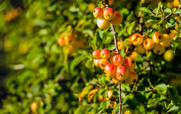 Orange crab apples on a twig in autumnal sunlight Stock Images