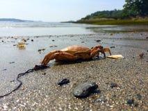 Orange crab on beach Royalty Free Stock Photos