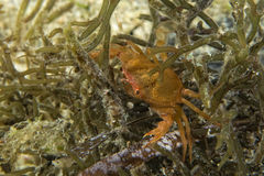 Orange crab eye macro Photographie stock