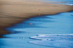 Orange crab on pacific ocean sandy beach Stock Photo