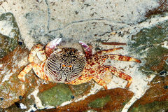 Orange crab. On the rock in Thailand Royalty Free Stock Photography
