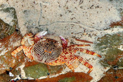 Orange crab. On the rock in Thailand Stock Photography