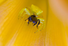 Orange crab spider Stock Image