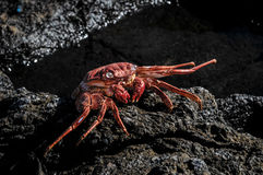 Orange Crab Royalty Free Stock Photo