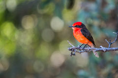 Orange Crested Bird. From the Galapagos Islands Stock Image