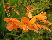 Orange Crocosmia Stock Photos